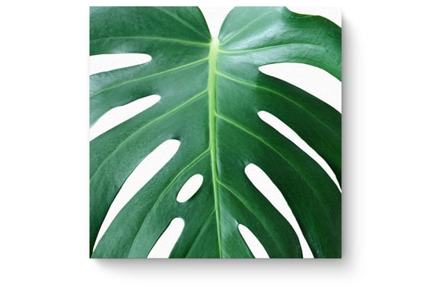 Square monstera